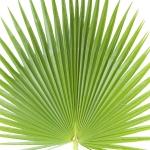 عطرهای دارای نت برگ نخل , عطرهایی با بوی برگ نخل , Perfumes with Palm leaf Note