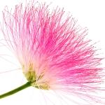 عطرهای دارای نت شکوفه درخت ابریشم , عطرهایی با بوی شکوفه درخت ابریشم , Perfumes with Silk Tree Blossom Note