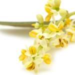 نمایش عطرهای دارای گل زیتون - Olive flower