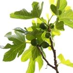 عطرهای دارای نت درخت انجیر , عطرهایی با بوی درخت انجیر , Perfumes with Fig tree Note