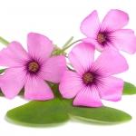 نمایش عطرهای دارای بنفش Woodsorrel - Violet Woodsorrel