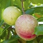 عطرهای دارای نت نوعی میوه جنگلی , عطرهایی با بوی نوعی میوه جنگلی , Perfumes with Cassowary fruit Note