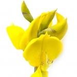 عطرهای دارای نت نوعی گل , عطرهایی با بوی نوعی گل , Perfumes with Spanish Broom Note