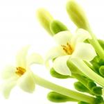 عطرهای دارای نت شکوفه پاپایا , عطرهایی با بوی شکوفه پاپایا , Perfumes with Papaya blossom Note