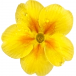 عطرهای دارای نت گل پامچال , عطرهایی با بوی گل پامچال , Perfumes with Primrose Note