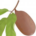 عطرهای دارای نت میوه ای استوایی شبیه به کیوی , عطرهایی با بوی میوه ای استوایی شبیه به کیوی , Perfumes with Cupuacu, Cupuassu, Copoasu Note