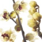 عطرهای دارای نت گل چیمانتوس , عطرهایی با بوی گل چیمانتوس , Perfumes with Chimonanthus or Wintersweet Note