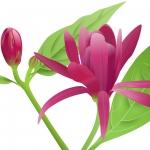 عطرهای دارای نت گل کالیکانتوس , عطرهایی با بوی گل کالیکانتوس , Perfumes with Calycanthus Note