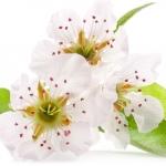 عطرهای دارای نت شکوفه گلابی , عطرهایی با بوی شکوفه گلابی , Perfumes with Pear Blossom Note
