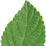 عطرهای دارای نت برگ لانتانا , عطرهایی با بوی برگ لانتانا , Perfumes with Lantana leaf Note