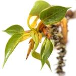 عطرهای دارای نت جوانه های Poplar (Populus) , عطرهایی با بوی جوانه های Poplar (Populus) , Perfumes with Poplar (Populus) buds Note