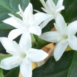 عطرهای دارای نت شکوفه قهوه , عطرهایی با بوی شکوفه قهوه , Perfumes with Coffee blossom Note