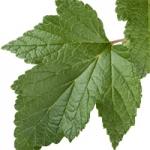 عطرهای دارای نت برگ توت سیاه , عطرهایی با بوی برگ توت سیاه , Perfumes with Black currant leaf Note