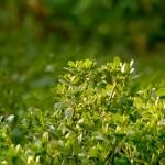 عطرهای دارای نت پورتولاکا یا Pigweed , عطرهایی با بوی پورتولاکا یا Pigweed , Perfumes with Portulaca or Pigweed Note