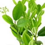 عطرهای دارای نت درخت رونسرا , عطرهایی با بوی درخت رونسرا , Perfumes with Ravensara Note