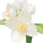 عکس عطر اورجینال با بوی نوعی گل