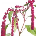 نمایش عطرهای دارای بذر گل آمارانت - Amaranth