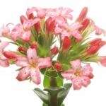 نمایش عطرهای دارای گل جید - Jade Flower