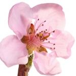 عطرهای دارای نت شکوفه نارنگی , عطرهایی با بوی شکوفه نارنگی , Perfumes with Nectarine blossom Note