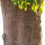 عطرهای دارای نت درخت Belambra , عطرهایی با بوی درخت Belambra , Perfumes with Belambra tree Note