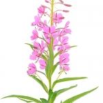 عطرهای دارای نت نوعی گل , عطرهایی با بوی نوعی گل , Perfumes with Rosebay Willowherb Note