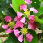 عطرهای دارای نت شکوفه اکرولا (نوعی گیلاس) , عطرهایی با بوی شکوفه اکرولا (نوعی گیلاس) , Perfumes with Acerola blossom Note