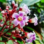 عطرهای دارای نت شکوفه Carambola , عطرهایی با بوی شکوفه Carambola , Perfumes with Carambola blossom Note