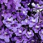 نمایش عطرهای دارای گل جاکارانا - Jacaranda