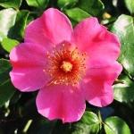 عطرهای دارای نت رزا رومیگوینوزا , عطرهایی با بوی رزا رومیگوینوزا , Perfumes with Rosa rubiginosa Note
