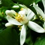 عطرهای دارای نت شکوفه بالنگ , عطرهایی با بوی شکوفه بالنگ , Perfumes with Bergamot Blossom Note
