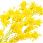 عطرهای دارای نت گل گلدنراد , عطرهایی با بوی گل گلدنراد , Perfumes with Goldenrod Note
