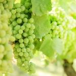 عطرهای دارای نت برگ انگور , عطرهایی با بوی برگ انگور , Perfumes with Grape leaves Note