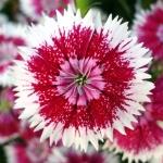 عطرهای دارای نت گل دیانتوس , عطرهایی با بوی گل دیانتوس , Perfumes with Dianthus Note