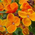 نمایش عطرهای دارای گل هاوری - Hoary Stock