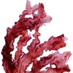 عطرهای دارای نت جلبک قرمز , عطرهایی با بوی جلبک قرمز , Perfumes with Red Algae Note