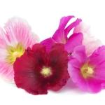 نمایش عطرهای دارای گل ختمی - Hollyhock