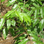 عطرهای دارای نت گیاه کاترافای , عطرهایی با بوی گیاه کاترافای , Perfumes with Katrafay Note