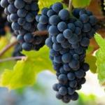 عطرهای دارای نت نوعی انگور , عطرهایی با بوی نوعی انگور , Perfumes with Pinot Noir grapes Note