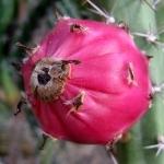 عطرهای دارای نت کاکتوس هریسیا , عطرهایی با بوی کاکتوس هریسیا , Perfumes with Cactus Harrisia Note