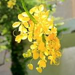 عطرهای دارای نت گل آکاچیا , عطرهایی با بوی گل آکاچیا , Perfumes with Acácia Note
