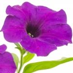 عطرهای دارای نت پتونیا , عطرهایی با بوی پتونیا , Perfumes with Petunia Note