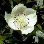 عطرهای دارای نت درخت میشن , عطرهایی با بوی درخت میشن , Perfumes with Leatherwood Note