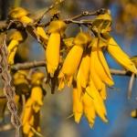 عطرهای دارای نت درخت کوهای , عطرهایی با بوی درخت کوهای , Perfumes with Kowhai Note