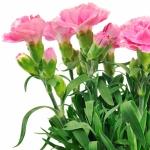 عطرهای دارای نت برگ نرگس , عطرهایی با بوی برگ نرگس , Perfumes with Carnation leaves Note
