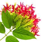 عطرهای دارای نت گل رانگون  , عطرهایی با بوی گل رانگون  , Perfumes with Rangoon creeper Note