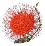 عطرهای دارای نت گل آشوکا , عطرهایی با بوی گل آشوکا , Perfumes with Ashoka Flower Note