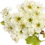 عطرهای دارای نت زالزالک , عطرهایی با بوی زالزالک , Perfumes with Hawthorn Note