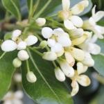 عطرهای دارای نت گل شمشاد , عطرهایی با بوی گل شمشاد , Perfumes with Pittosporum Note