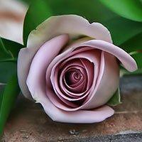 عطرهای دارای نت رز د مای , عطرهایی با بوی رز د مای , Perfumes with Rose de May Note